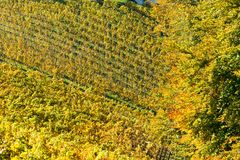 Vineyard in autumn. In austria; yellow leafs Stock Photos