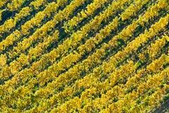 Vineyard in autumn. In austria; yellow leafs Royalty Free Stock Photos