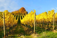Vineyard in Autumn Royalty Free Stock Images