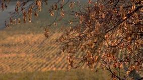 Vineyard in autumn stock video