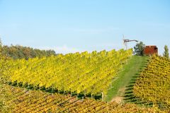 Vineyard in autumn. With blue sky and yellow leafs Stock Image