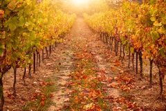 Vineyard in autumn, with bright sunlight and golden tones. Provence, France in October. stock photography