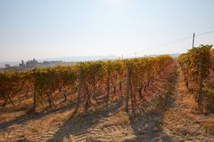 Vineyard in autumn with brown leaves, backlight Royalty Free Stock Photography