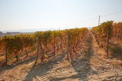 Vineyard in autumn with brown leaves in a sunny day Royalty Free Stock Images