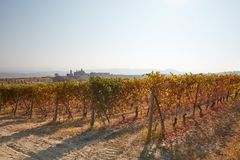 Vineyard in autumn with brown and yellow leaves in a sunny day, Royalty Free Stock Photography