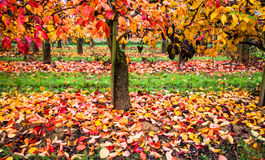 Vineyard in Autumn color Royalty Free Stock Image