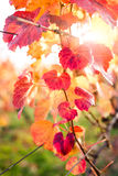 Vineyard in Autumn. Stock Photo