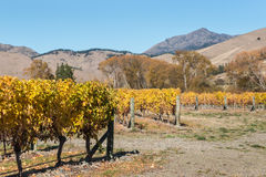 Vineyard in autumn colors with copy space Stock Photography