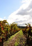 Vineyard in autumn colors Royalty Free Stock Photos