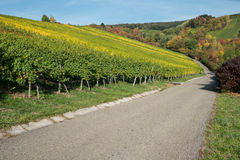 Vineyard in autumn colouring Royalty Free Stock Photography