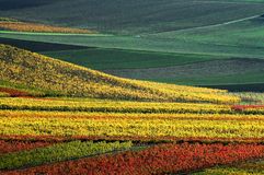 Vineyard in autumn colours Royalty Free Stock Photos