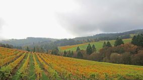 Vineyard with Autumn Fall Colors on the Rolling Hills in Dundee Oregon Royalty Free Stock Images