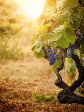 Vineyard in autumn harvest. Nature background with Vineyard in autumn harvest. Ripe grapes in fall Stock Photos