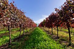 Vineyard. A vineyard in autumn after the harvest with the typical colors of this season Royalty Free Stock Images