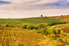 Vineyard in autumn during harvesting Royalty Free Stock Images