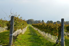 Vineyard in Autumn II. Perspective shot of a vineyard and pathway. Taken in Connecticut during the month of October Stock Photography