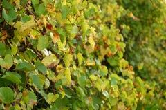 Vineyard during Autumn II Royalty Free Stock Images