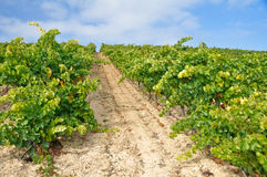 Vineyard at Autumn, La Rioja (Spain) Royalty Free Stock Images
