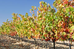 Vineyard at Autumn, La Rioja (Spain) Royalty Free Stock Image