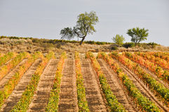 Vineyard at Autumn, La Rioja (Spain) Royalty Free Stock Photos