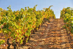Vineyard at Autumn, La Rioja (Spain) Royalty Free Stock Photography