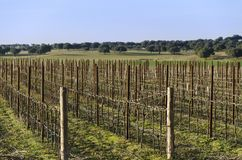 Vineyard in autumn and the holm oak in the background. Spain stock image
