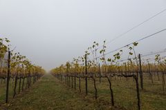 Vineyard in autumn, with mist and lot of copy space royalty free stock photo