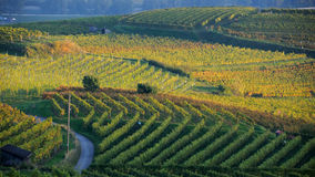 Vineyard in autumn no.1 Royalty Free Stock Photo