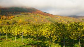 Vineyard in autumn no.3 Royalty Free Stock Photo