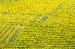 Vineyard in autumn no.9 Royalty Free Stock Photo