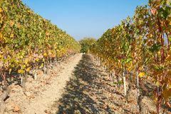 Vineyard in autumn, path between two vine rows with yellow leaves Stock Images