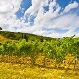 Vineyard in the Autumn Stock Image