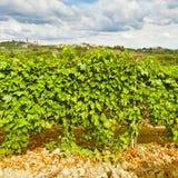 Vineyard in the Autumn Stock Photo