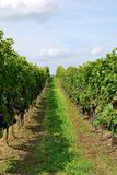In the vineyard Royalty Free Stock Photo