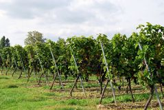 In the vineyard Stock Photography