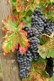 In the vineyard Royalty Free Stock Images