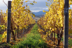 Vineyard Autumn Stock Images