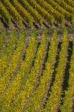 Vineyard in Autumn Stock Photo