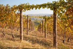 Vineyard in autumn, vine rows with wooden poles in a sunny day Stock Image