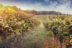Vineyard in autumn Royalty Free Stock Photo