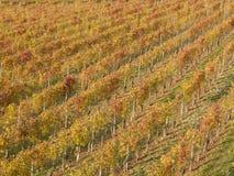 Vineyard in autumn. Warm autumn colors in an Italian vineyard Royalty Free Stock Image
