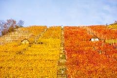 Vineyard in autumn Stock Photos