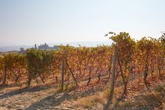Vineyard in autumn with yellow and brown leaves in Italy Stock Images