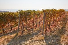 Vineyard in autumn with yellow, brown and red leaves Stock Photography