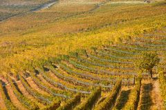 Vineyard in autumn with yellow and green leaves and tree in Italy Royalty Free Stock Images