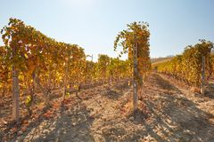 Vineyard in autumn with yellow leaves in a sunny day Royalty Free Stock Photography