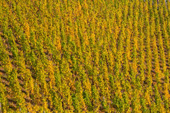 Vineyard with autumnal colored grapevines Stock Photography