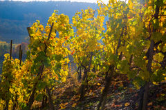 Vineyard with autumnal colored grapevines Royalty Free Stock Photos