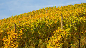 Vineyard with autumnal colored grapevines Royalty Free Stock Photo