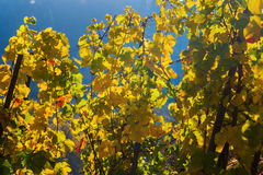 Vineyard with autumnal colored grapevines Royalty Free Stock Images